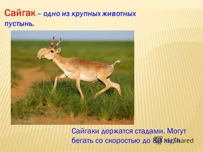 Сайгак – одно из крупных животных пустынь. Сайгаки держатся стадами. Могут бегать со скоростью до 80 км/ч