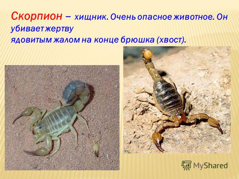 Скорпион – хищник. Очень опасное животное. Он убивает жертву ядовитым жалом на конце брюшка (хвост).
