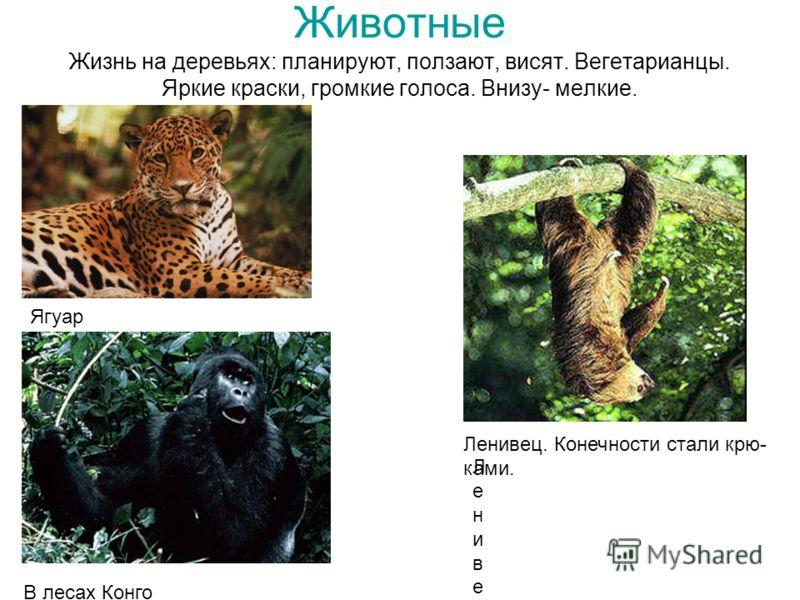 Животные Жизнь на деревьях: планируют, ползают, висят. Вегетарианцы. Яркие краски, громкие голоса. Внизу- мелкие. ЛенивецЛенивец Ленивец. Конечности стали крю- ками. Шимпанзе Ягуар В лесах Конго