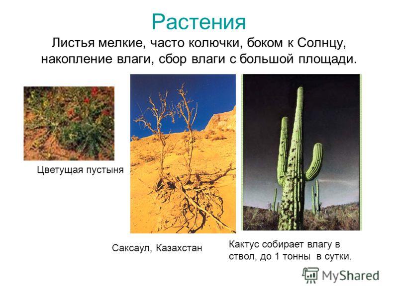 Растения Листья мелкие, часто колючки, боком к Солнцу, накопление влаги, сбор влаги с большой площади. Цветущая пустыня Кактус собирает влагу в ствол, до 1 тонны в сутки. Саксаул, Казахстан