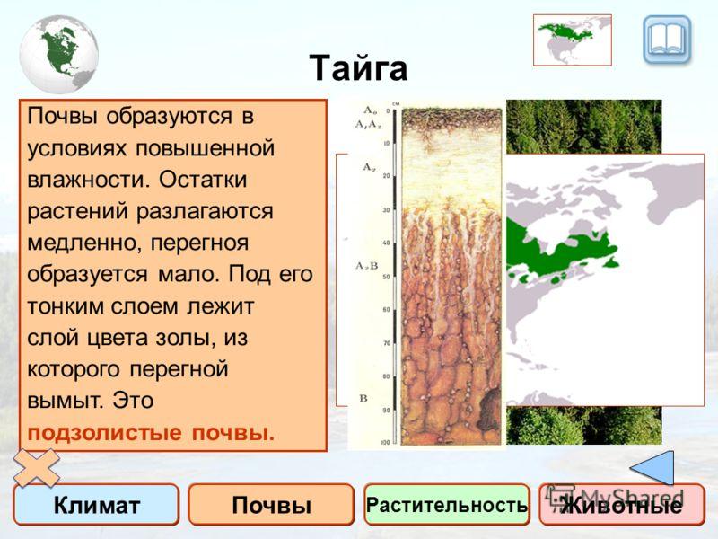 Тайга КлиматПочвы Растительность Животные Тайга – это зона умеренного пояса, в растительности которой преобладают хвойные деревья с примесью мелколиственных пород (береза, осина, ольха) Климат умеренный. Холодная снежная зима и влажное сравнительно т