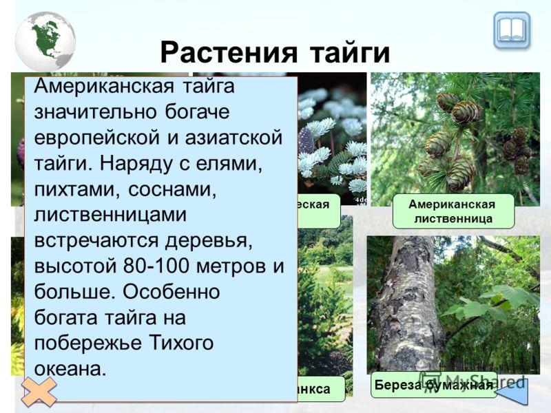 Растения тайги Черная ель Белая ель Сосна Банкса Американская лиственница Бальзамическая пихта Американская тайга значительно богаче европейской и азиатской тайги. Наряду с елями, пихтами, соснами, лиственницами встречаются деревья, высотой 80-100 ме