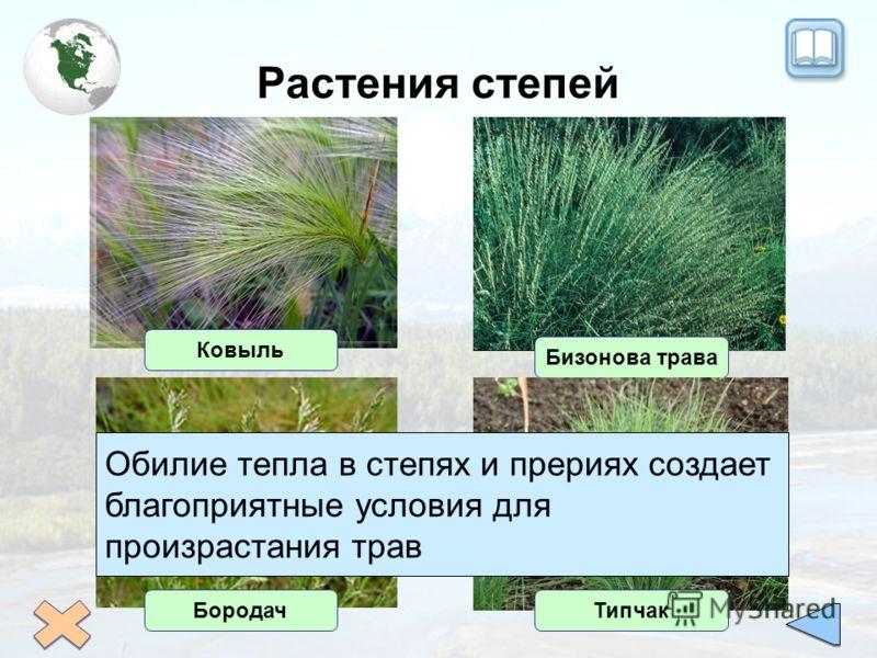 Растения степей Ковыль Бизонова трава БородачТипчак Обилие тепла в степях и прериях создает благоприятные условия для произрастания трав