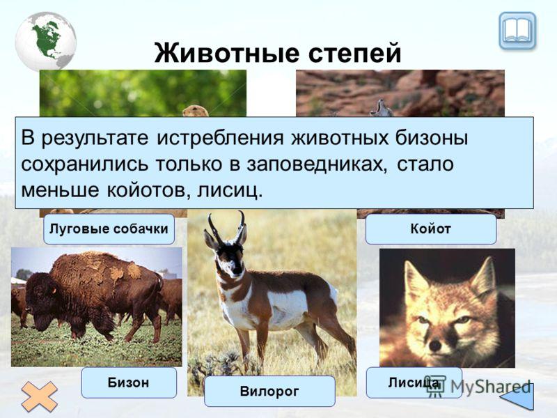 Животные степей Луговые собачкиКойот Вилорог В результате истребления животных бизоны сохранились только в заповедниках, стало меньше койотов, лисиц. БизонЛисица