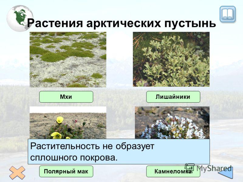 Растения арктических пустынь Полярный макКамнеломка МхиЛишайники Растительность не образует сплошного покрова.