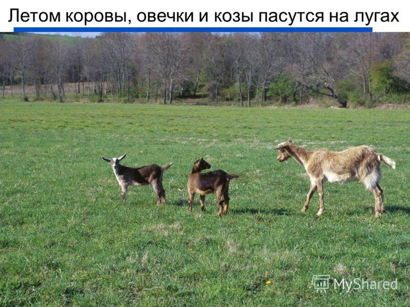 Летом коровы, овечки и козы пасутся на лугах