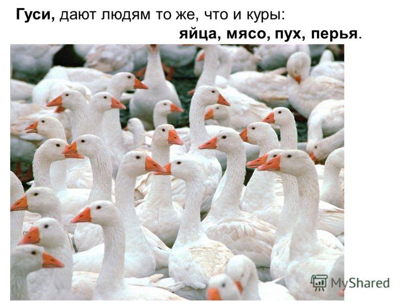 Гуси, дают людям то же, что и куры: яйца, мясо, пух, перья.