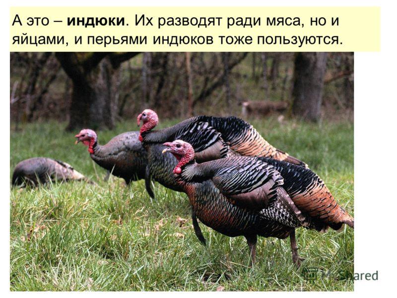 А это – индюки. Их разводят ради мяса, но и яйцами, и перьями индюков тоже пользуются.