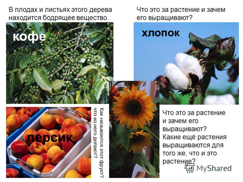 В плодах и листьях этого дерева находится бодрящее вещество. кофе Что это за растение и зачем его выращивают? хлопок Как называется этот фрукт? что из него делают? персик Что это за растение и зачем его выращивают? Какие ещё растения выращиваются для