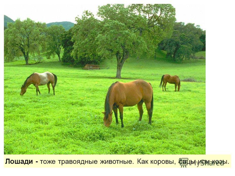 Лошади - тоже травоядные животные. Как коровы, овцы или козы.