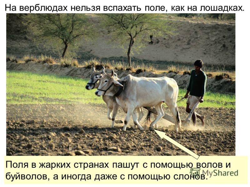 На верблюдах нельзя вспахать поле, как на лошадках. Поля в жарких странах пашут с помощью волов ибуйволов, а иногда даже с помощью слонов.