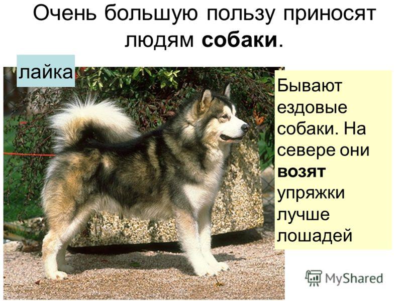 Очень большую пользу приносят людям собаки. Бываютездовыесобаки. Насевере онивозятупряжкилучшелошадей лайка
