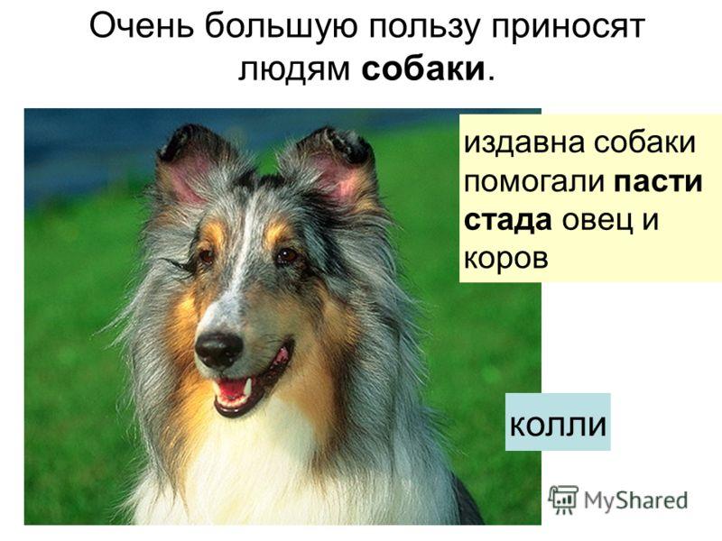 Очень большую пользу приносят людям собаки. издавна собакипомогали пасти стада овец и коров колли