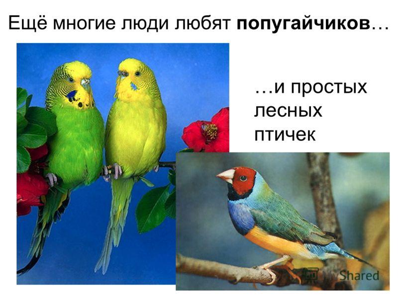 Ещё многие люди любят попугайчиков… …и простыхлесныхптичек