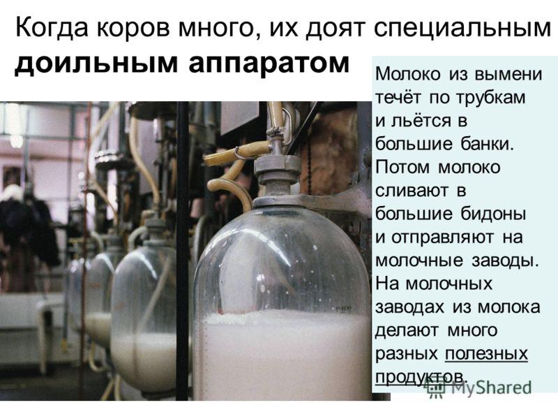 Когда коров много, их доят специальным доильным аппаратом Молоко из выменитечёт по трубками льётся вбольшие банки.Потом молокосливают вбольшие бидоныи отправляют намолочные заводы.На молочныхзаводах из молокаделают многоразных полезных продуктов.