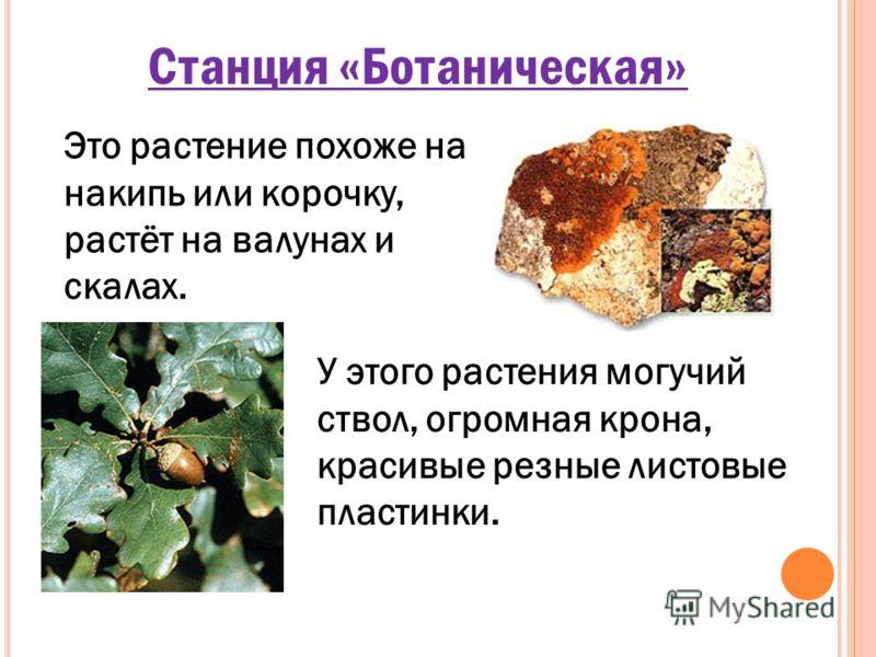 Станция «Ботаническая» Это растение похоже на накипь или корочку, растёт на валунах и скалах. У этого растения могучий ствол, огромная крона, красивые резные листовые пластинки.