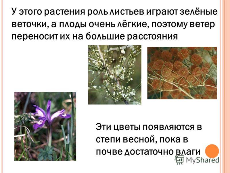 У этого растения роль листьев играют зелёные веточки, а плоды очень лёгкие, поэтому ветер переносит их на большие расстояния Эти цветы появляются в степи весной, пока в почве достаточно влаги