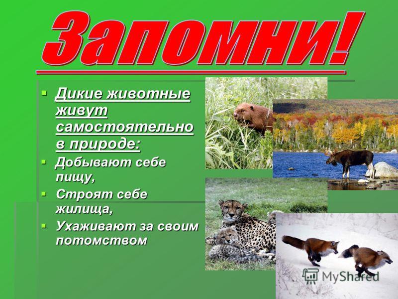 Дикие животные живут самостоятельно в природе: Дикие животные живут самостоятельно в природе: Добывают себе пищу, Добывают себе пищу, Строят себе жилища, Строят себе жилища, Ухаживают за своим потомством Ухаживают за своим потомством