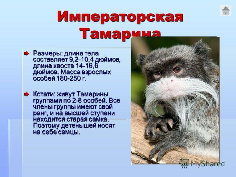 Императорская Тамарина Размеры: длина тела составляет 9,2-10,4 дюймов, длина хвоста 14-16,6 дюймов. Масса взрослых особей 180-250 г. Кстати: живут Тамарины группами по 2-8 особей. Все члены группы имеют свой ранг, и на высшей ступени находится старая