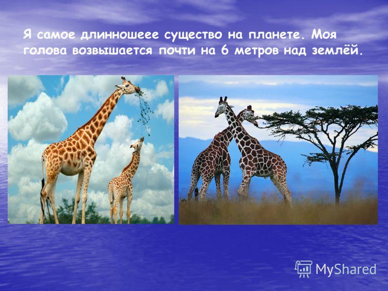 Я самое длинношеее существо на планете. Моя голова возвышается почти на 6 метров над землёй.