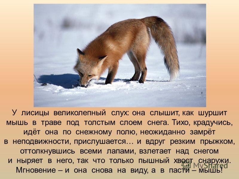У лисицы великолепный слух: она слышит, как шуршит мышь в траве под толстым слоем снега. Тихо, крадучись, идёт она по снежному полю, неожиданно замрёт в неподвижности, прислушается… и вдруг резким прыжком, оттолкнувшись всеми лапами, взлетает над сне