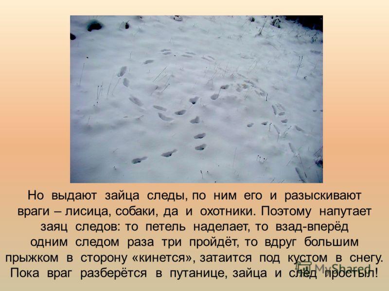 Но выдают зайца следы, по ним его и разыскивают враги – лисица, собаки, да и охотники. Поэтому напутает заяц следов: то петель наделает, то взад-вперёд одним следом раза три пройдёт, то вдруг большим прыжком в сторону «кинется», затаится под кустом в