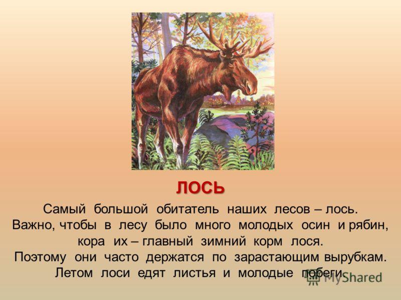 ЛОСЬ Самый большой обитатель наших лесов – лось. Важно, чтобы в лесу было много молодых осин и рябин, кора их – главный зимний корм лося. Поэтому они часто держатся по зарастающим вырубкам. Летом лоси едят листья и молодые побеги.