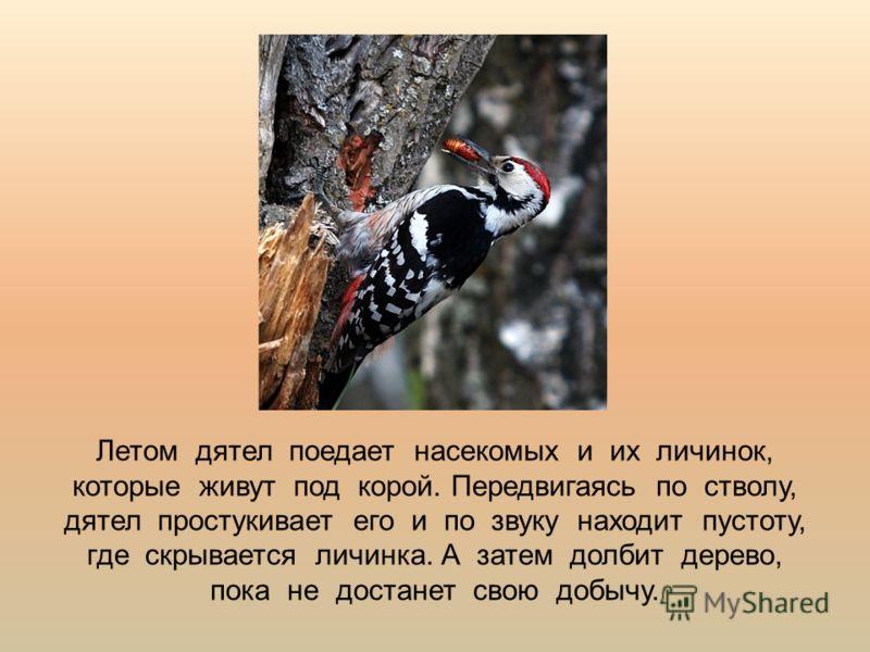 Летом дятел поедает насекомых и их личинок, которые живут под корой. Передвигаясь по стволу, дятел простукивает его и по звуку находит пустоту, где скрывается личинка. А затем долбит дерево, пока не достанет свою добычу.