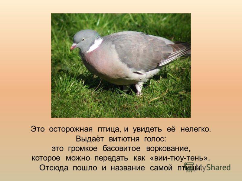 Это осторожная птица, и увидеть её нелегко. Выдаёт витютня голос: это громкое басовитое воркование, которое можно передать как «вии-тюу-тень». Отсюда пошло и название самой птицы.