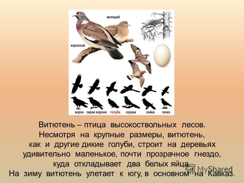 Витютень – птица высокоствольных лесов. Несмотря на крупные размеры, витютень, как и другие дикие голуби, строит на деревьях удивительно маленькое, почти прозрачное гнездо, куда откладывает два белых яйца. На зиму витютень улетает к югу, в основном н