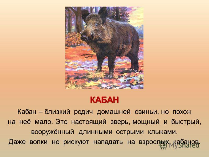 КАБАН Кабан – близкий родич домашней свиньи, но похож на неё мало. Это настоящий зверь, мощный и быстрый, вооружённый длинными острыми клыками. Даже волки не рискуют нападать на взрослых кабанов.