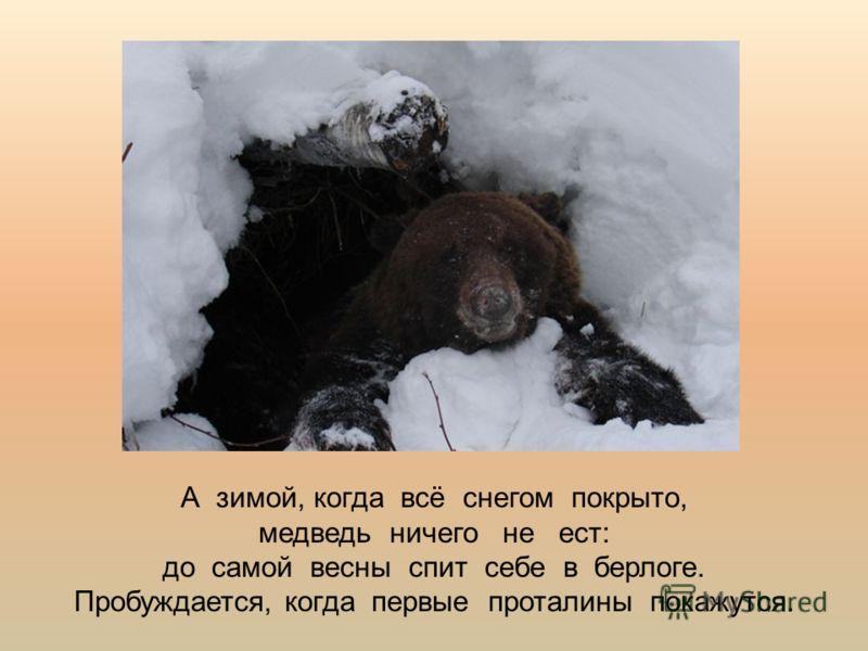 А зимой, когда всё снегом покрыто, медведь ничего не ест: до самой весны спит себе в берлоге. Пробуждается, когда первые проталины покажутся.