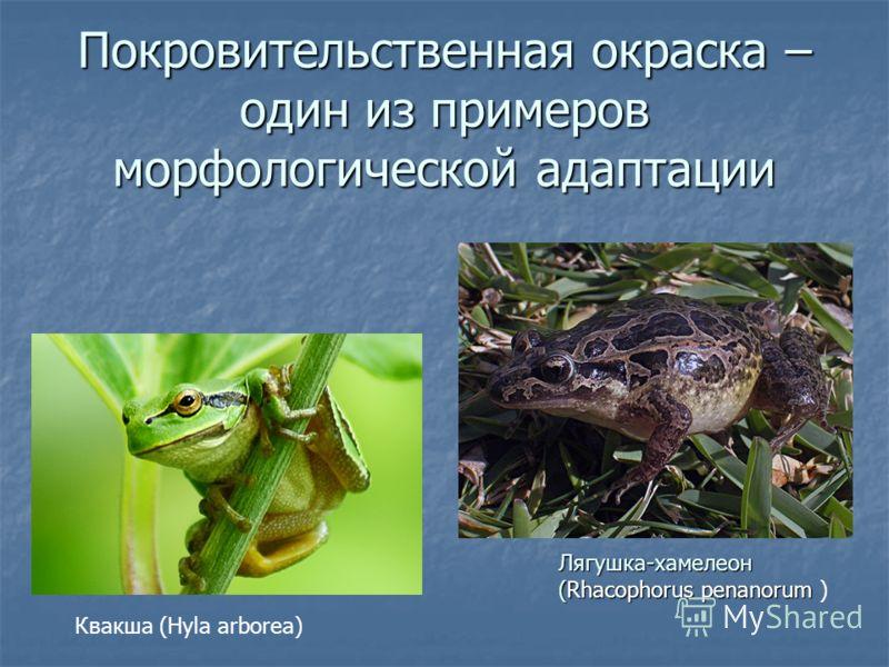 Покровительственная окраска – один из примеров морфологической адаптации Квакша (Hyla arborea) Лягушка-хамелеон (Rhacophorus penanorum (Rhacophorus penanorum )