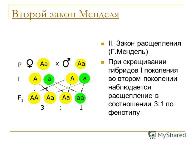 Второй закон Менделя II. Закон расщепления (Г.Мендель) При скрещивании гибридов I поколения во втором поколении наблюдается расщепление в соотношении 3:1 по фенотипу