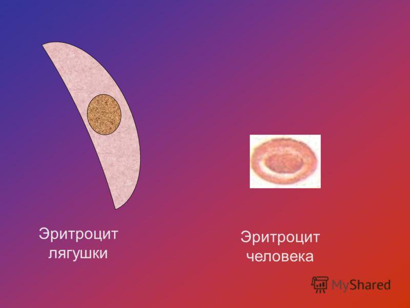 Эритроцит лягушки Эритроцит человека