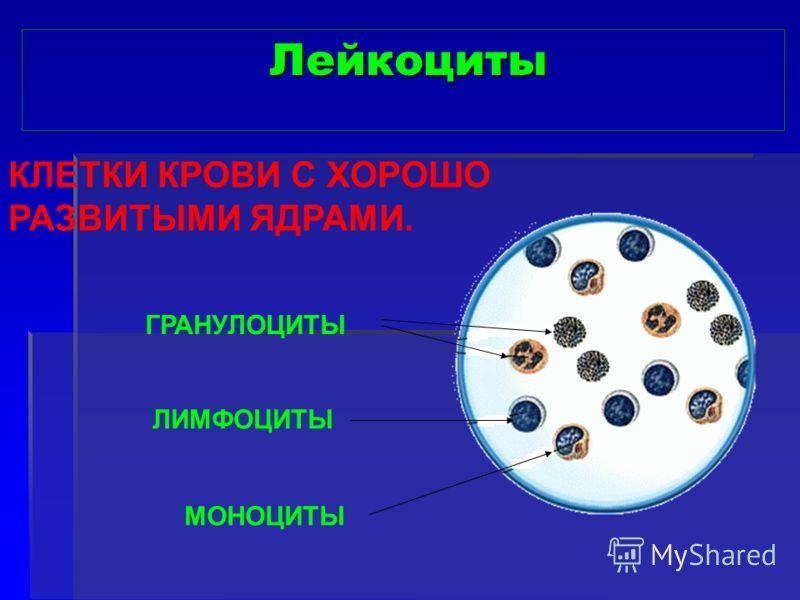 Лейкоциты КЛЕТКИ КРОВИ С ХОРОШО РАЗВИТЫМИ ЯДРАМИ. ГРАНУЛОЦИТЫ ЛИМФОЦИТЫ МОНОЦИТЫ