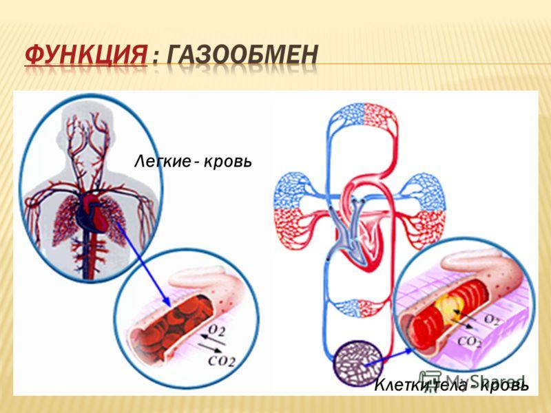 Легкие - кровь Клетки тела - кровь