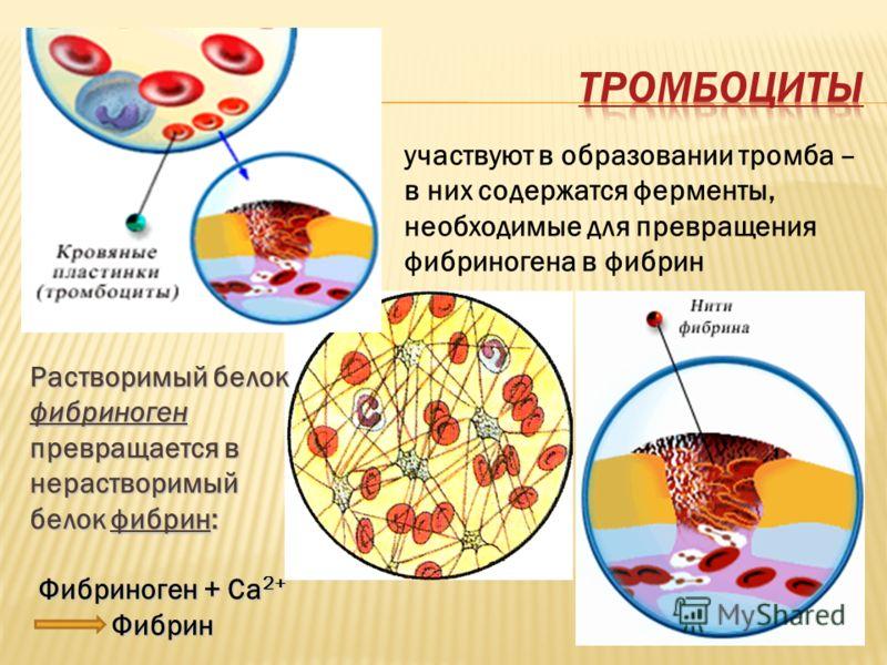 участвуют в образовании тромба – в них содержатся ферменты, необходимые для превращения фибриногена в фибрин Растворимый белок фибриноген превращается в нерастворимый белок фибрин: Фибриноген + Са 2+ Фибрин