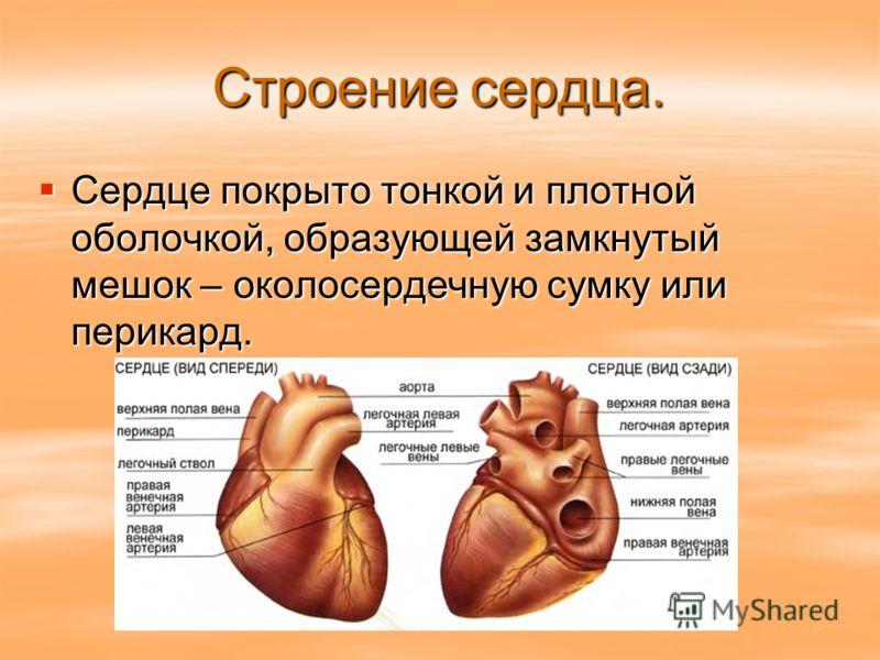 Строение сердца. Сердце покрыто тонкой и плотной оболочкой, образующей замкнутый мешок – околосердечную сумку или перикард. Сердце покрыто тонкой и плотной оболочкой, образующей замкнутый мешок – околосердечную сумку или перикард.