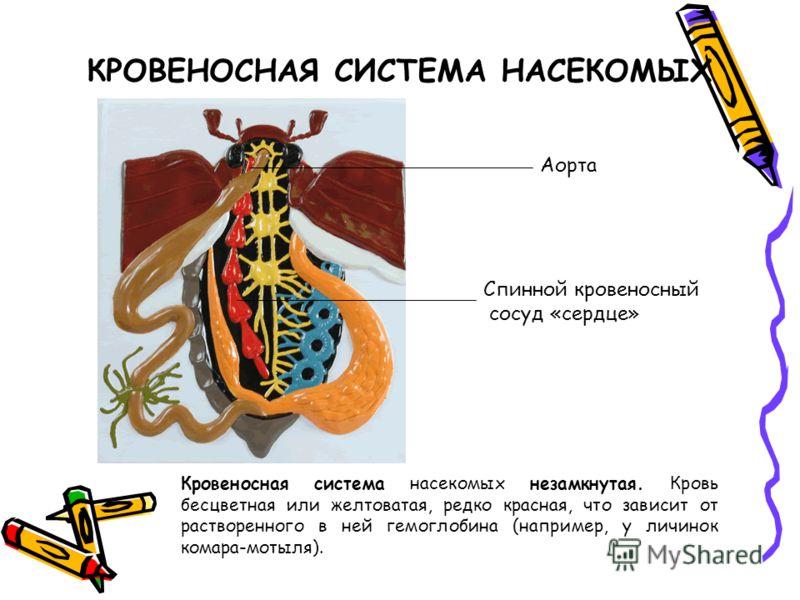 сердце комара Насекомые   Википедия