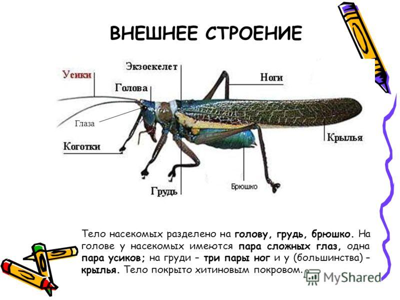ВНЕШНЕЕ СТРОЕНИЕ Тело насекомых разделено на голову, грудь, брюшко. На голове у насекомых имеются пара сложных глаз, одна пара усиков; на груди – три пары ног и у (большинства) – крылья. Тело покрыто хитиновым покровом. Глаза