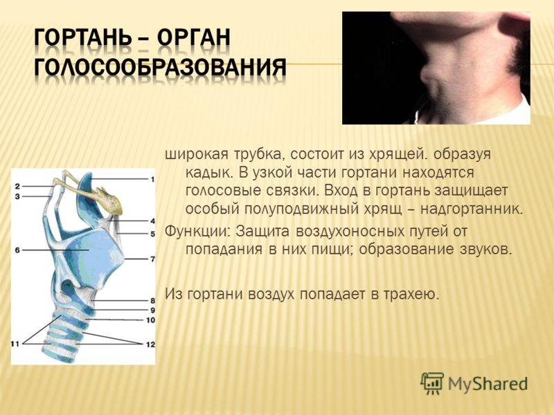 широкая трубка, состоит из хрящей. образуя кадык. В узкой части гортани находятся голосовые связки. Вход в гортань защищает особый полуподвижный хрящ – надгортанник. Функции: Защита воздухоносных путей от попадания в них пищи; образование звуков. Из