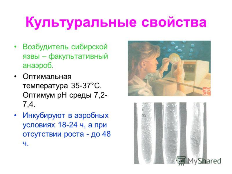 Культуральные свойства Возбудитель сибирской язвы – факультативный анаэроб. Оптимальная температура 35-37°С. Оптимум рН среды 7,2- 7,4. Инкубируют в аэробных условиях 18-24 ч, а при отсутствии роста - до 48 ч.