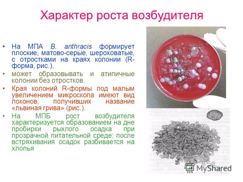 Характер роста возбудителя На МПА B. anthracis формирует плоские, матово-серые, шероховатые, с отростками на краях колонии (R- форма, рис.), может образовывать и атипичные колонии без отростков. Края колоний R-формы под малым увеличением микроскопа и