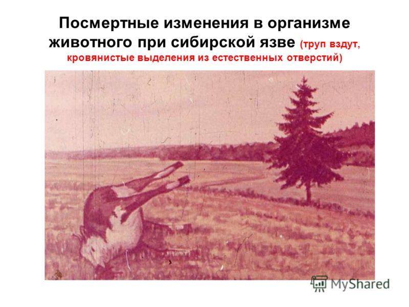 Посмертные изменения в организме животного при сибирской язве (труп вздут, кровянистые выделения из естественных отверстий)