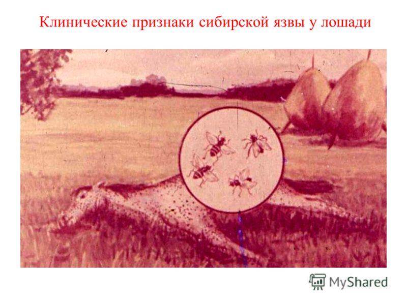 Клинические признаки сибирской язвы у лошади