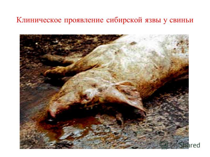 Клиническое проявление сибирской язвы у свиньи