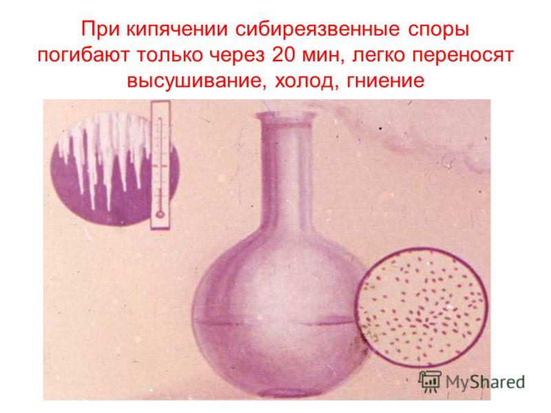 При кипячении сибиреязвенные споры погибают только через 20 мин, легко переносят высушивание, холод, гниение