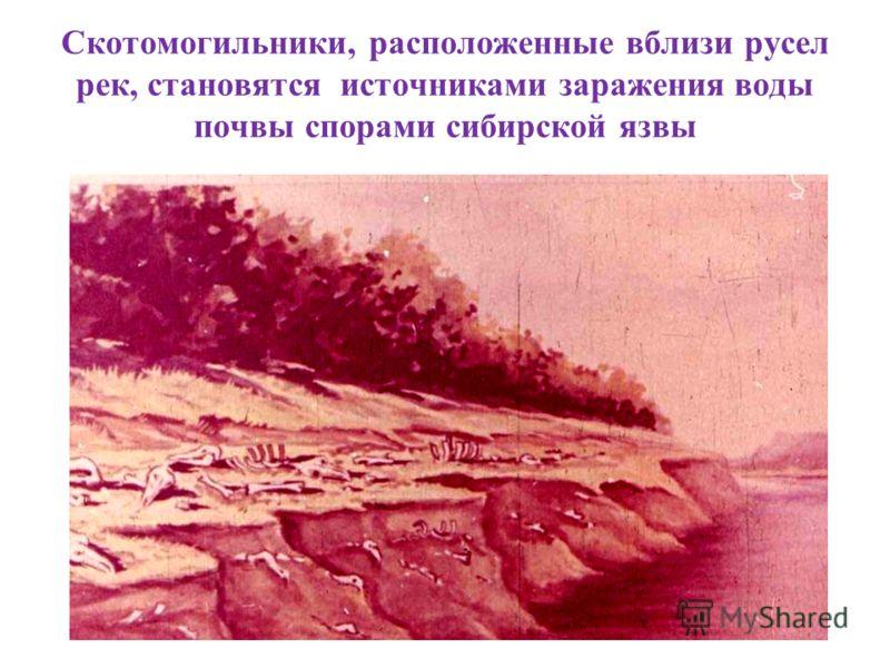 Скотомогильники, расположенные вблизи русел рек, становятся источниками заражения воды почвы спорами сибирской язвы