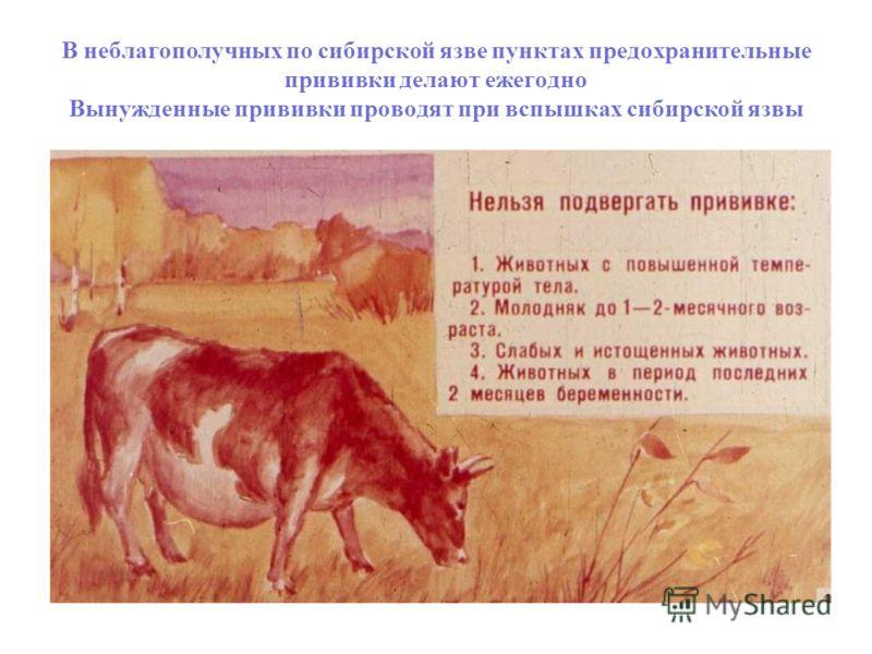 В неблагополучных по сибирской язве пунктах предохранительные прививки делают ежегодно Вынужденные прививки проводят при вспышках сибирской язвы